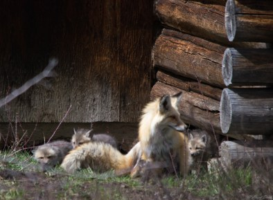 Mother fox with kits
