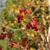 Highbush Cranberry, or Crampbark