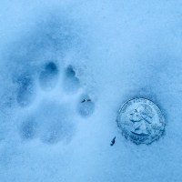 Bobcat Tracks: Male or Female?