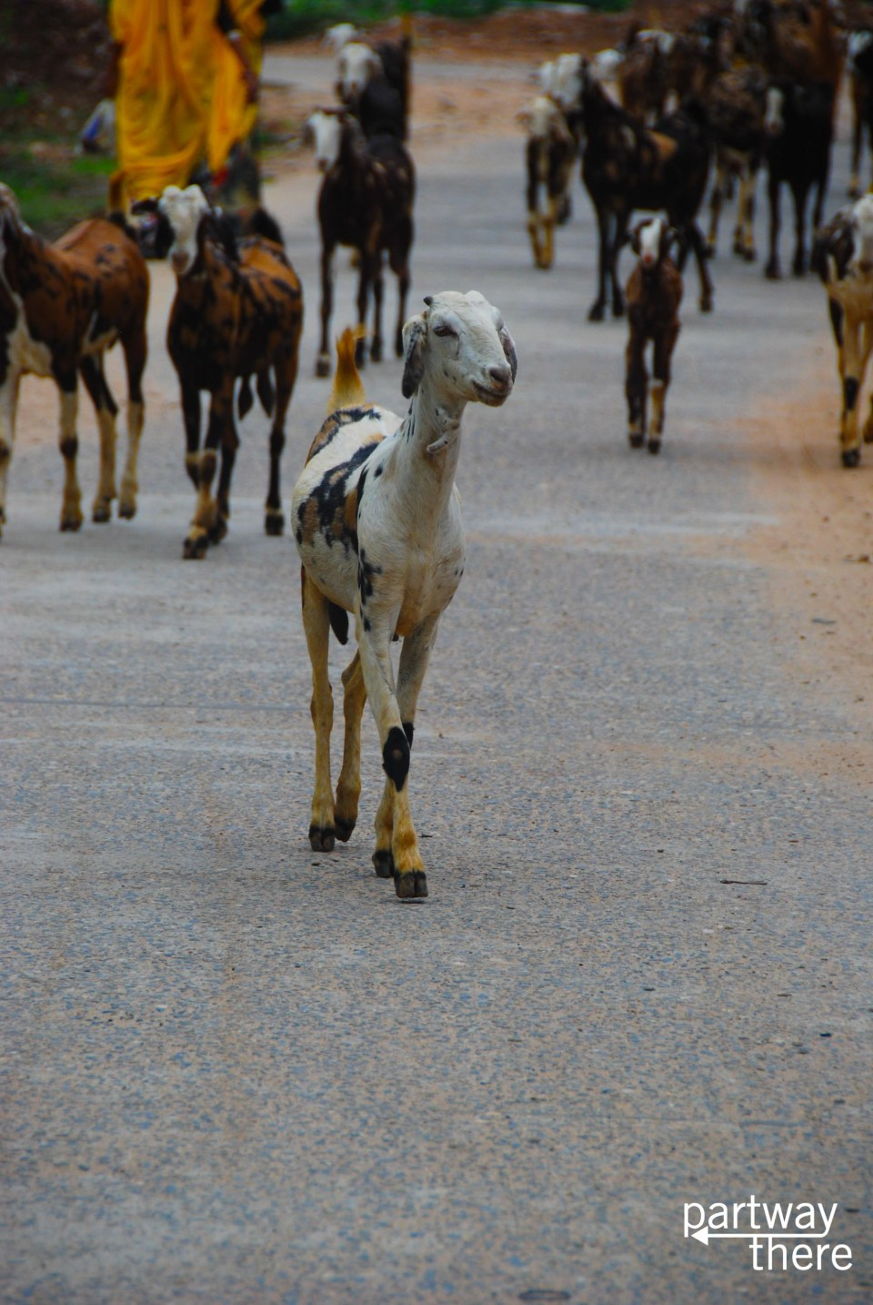 Goats on the road in India