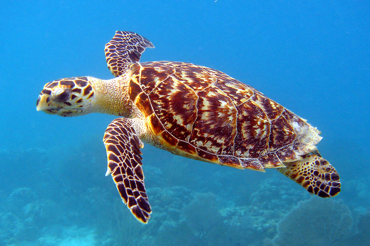 key west Hawksbill sea turtle