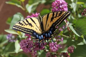 Agriculture Under Attack, Butterflies like lilacs