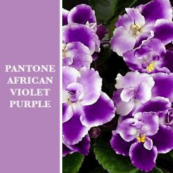 PANTONE African Violet Purple