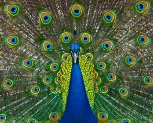 Peacock displaying his feathers