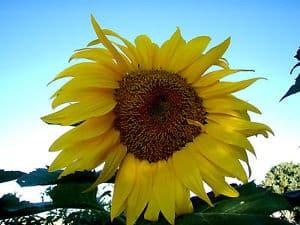 fleur de tournesol titan