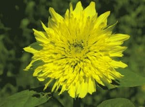 fleur de tournesol tiger eye mix de Kokopelli