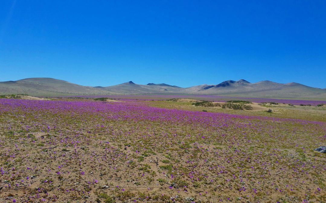 Blooming Desert, Atacama, Chile: how to enjoy it in only one weekend