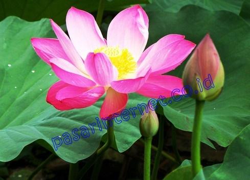 manfaat stemcell bunga teratai