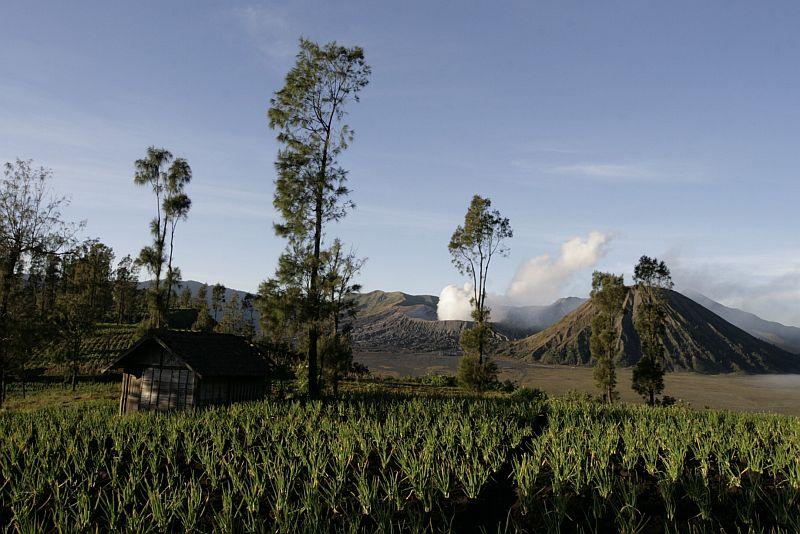 Ugnikalniai ugnikalniais, o svogūnus auginti galima ir belaukiant išsiveržimo.