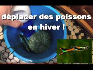 techniques pour déplacer des poissons d'aquarium en hiver