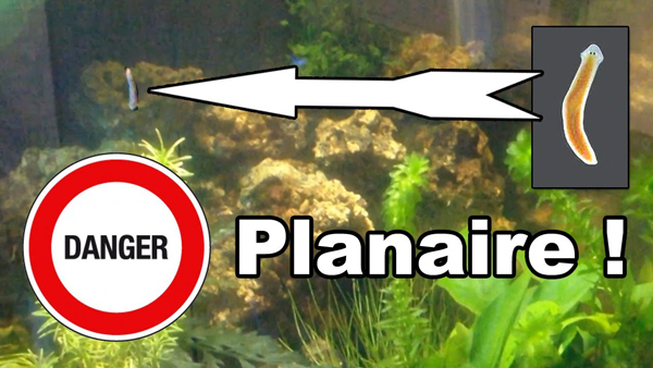 planaire dans mon nano aquarium !
