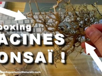 racines bonsai aquascaping !