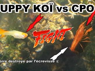 ecrevisse CPO vs Guppy Koï Kohaku !