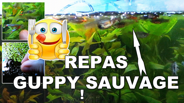 repas de mes guppy sauvage !