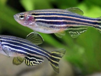 La reproduction du Danio rerio