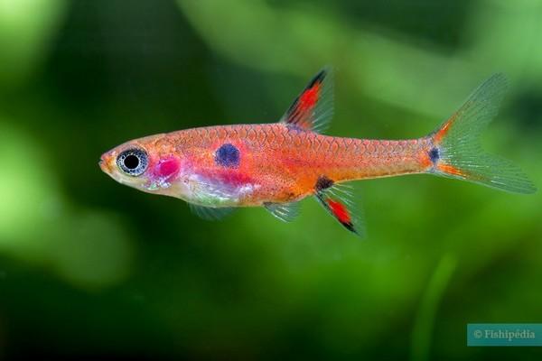 boraras maculatus – source photo : fishipedia.fr