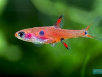 boraras maculatus - source photo : fishipedia.fr