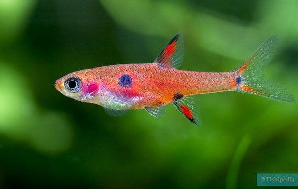 boraras maculatus - source photo : fishipedia.fr