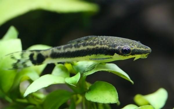 un macrotocinclus affinis - source photo : aquablog.fr