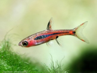 boraras brigittae - source image : aquaportail.com