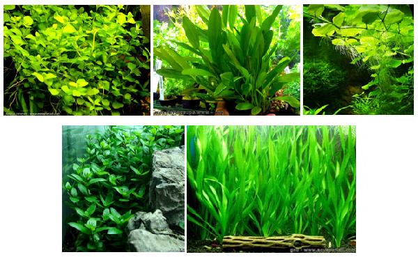 Pour les plantes, j'ai pris : Bacopa australis / Echinodorus amazonicus + un lot économique de 5 autres espèces (dont E. barthii) / Hydrocolyte leucocephala / Staurogyne repens / Vallisneria amaricana.