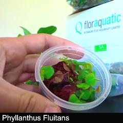 plant_06-phyllant-fluit