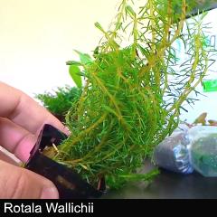 plant_08-rotala-wallichii