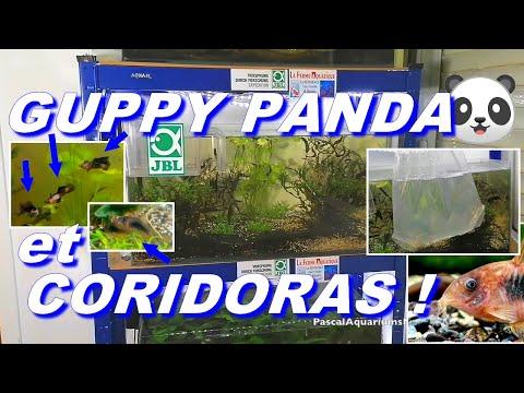 guppy-panda-et-coridoras