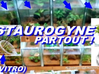 staurogyne in vitro aquaflora