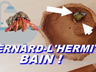 bains pour bernard-l'hermite terrestres !