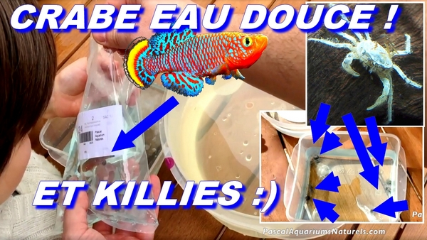 crabe eau douce et killies