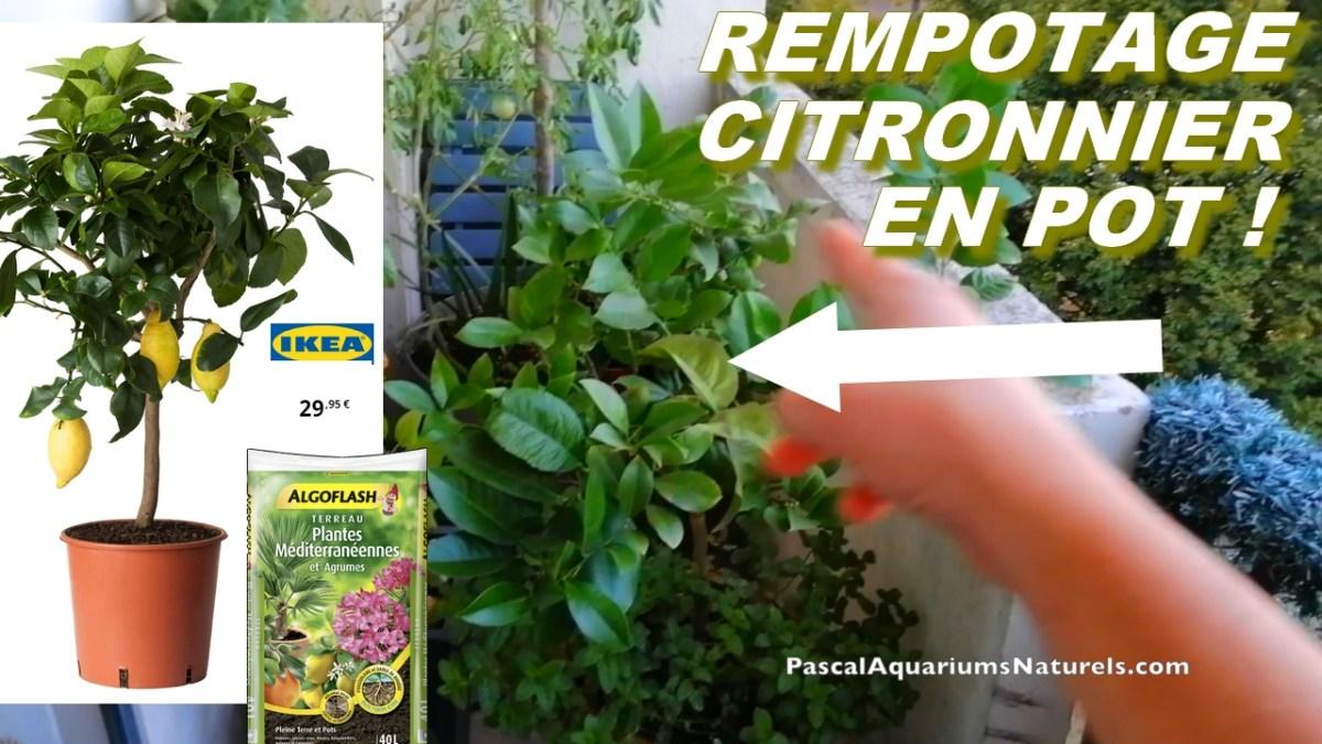 Rempotage citronnier en pot Ikea avec du Terreau Plantes Méditerranéennes et Agrumes Algoflash ...