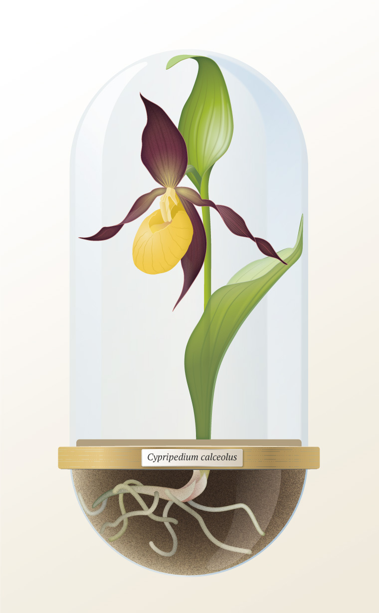 botanical vector illustration