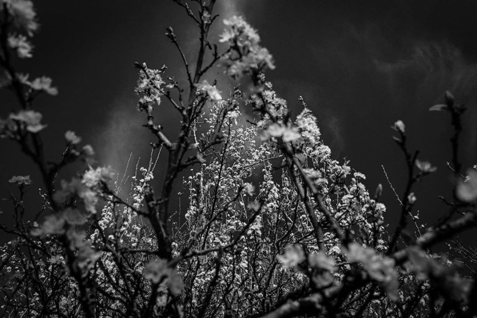 Confinement – day 7- Plum blossom poetry #nature #tours #france #confinement #covid_19 #coronavirus #flower #plum #blossom #blackandwhitephotography #bnwphotography #bnw #blackandwhite #cloud