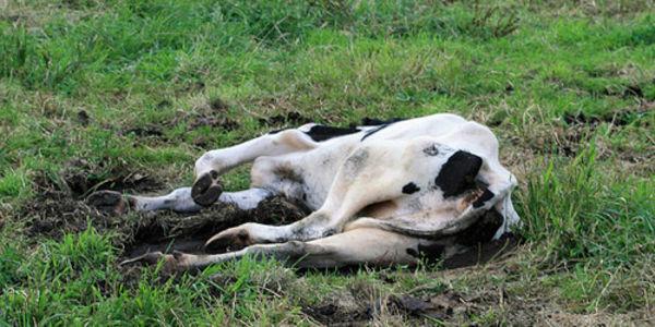 एक हप्तामा पाँच गाई मरे