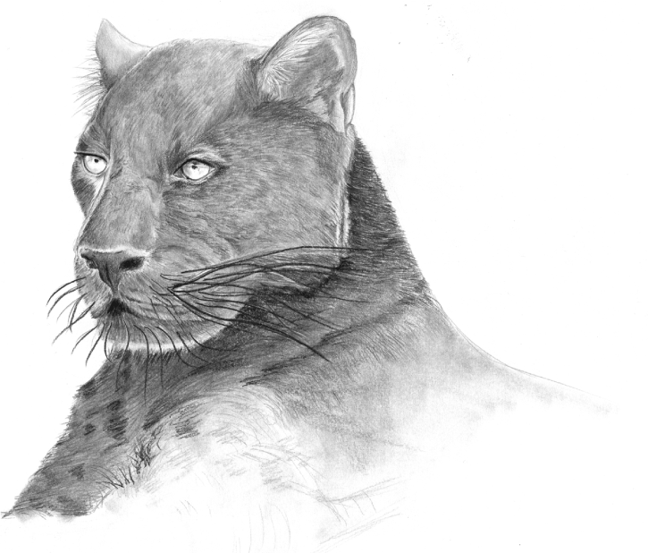 BLACK PANTHER ILLUSTRATION_INITIAL DRAWING