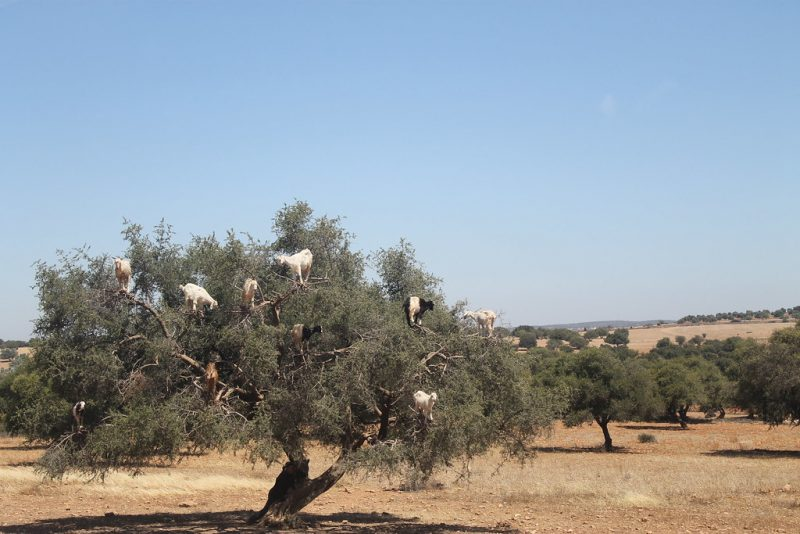 Cabras arboles Marruecos