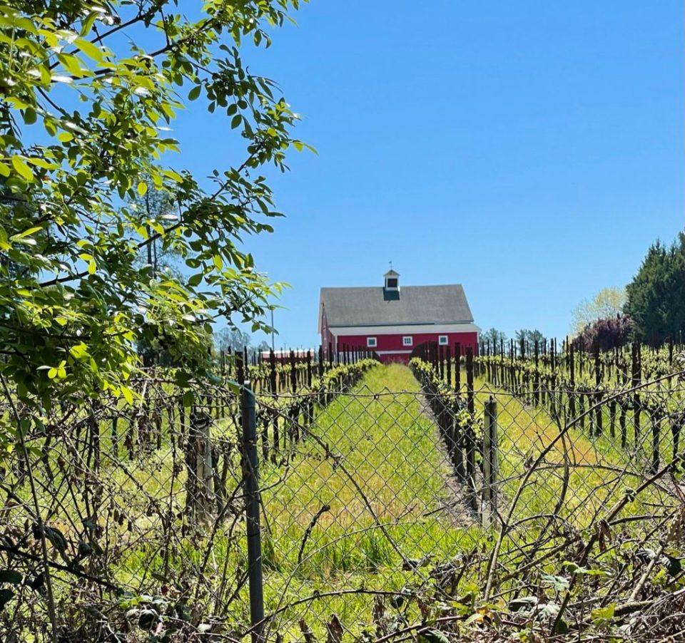 Sonoma County wine field