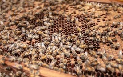 Kalendarz wychowu matek pszczelich dla każdego