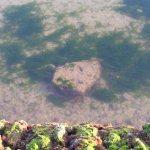 Jarife en un corral de pesca.