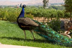 San Marcos Creek Vineyard Peacock