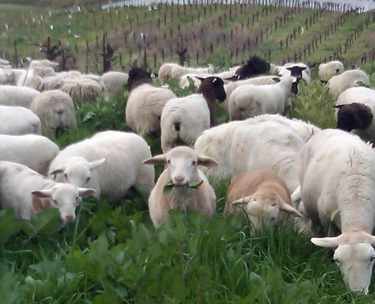 Rangeland Sheep