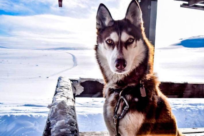 Janouk-chien-husky-voyage-outdoor-ski-blog