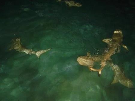 Tubarões nas Maldivas