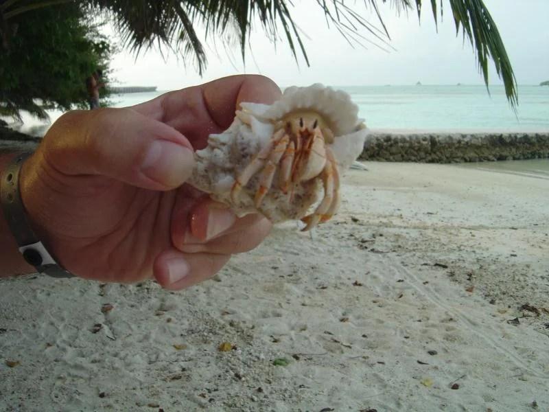 caranguejo-maldivas