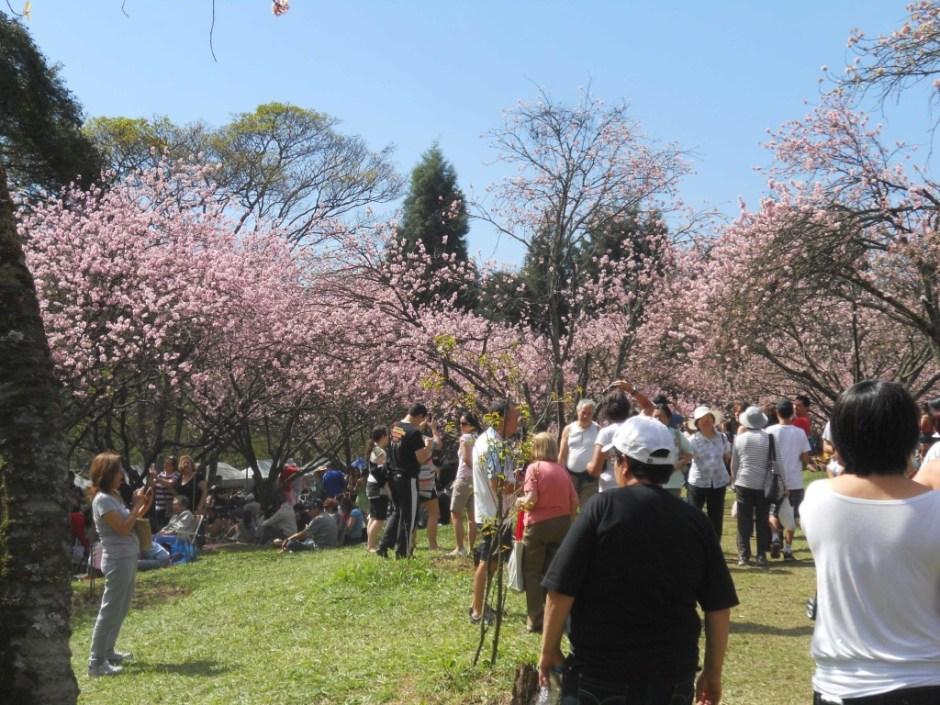 Festa das cerejeiras no Parque do Carmo. Foto: Sueli dos Santos/ Passeios Baratos em SP