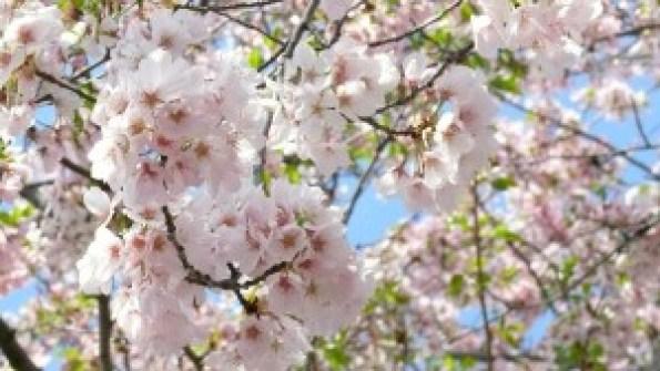 cherry-blossom-706631_1280