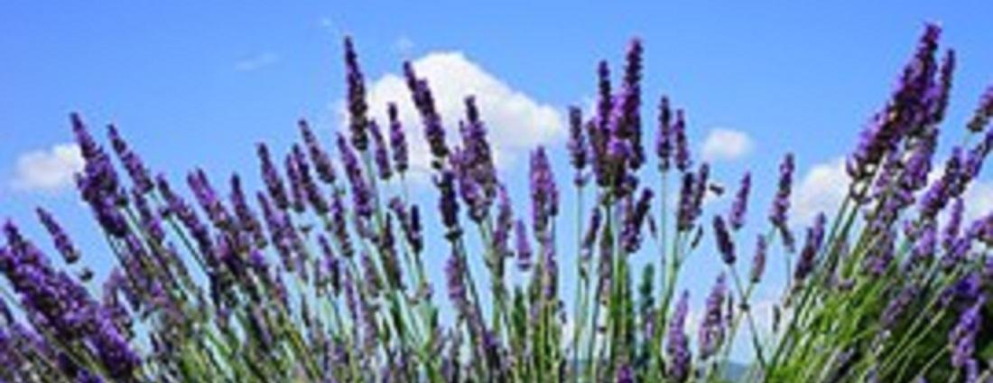 lavender-field-1595602__180