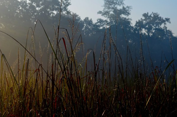 Early morning dew is still clinging to the tall grass blades...