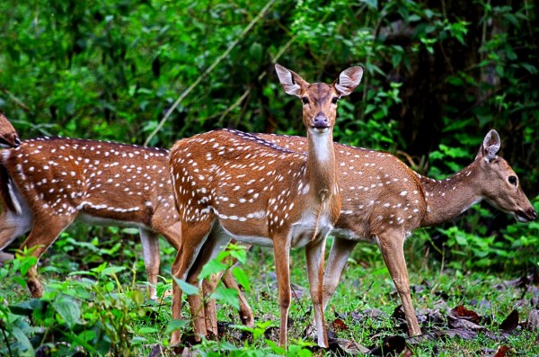 Bandipur and Kabini - They stop and stare and sometimes pose for the camera